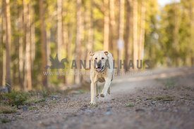 Lab running at camera on dirt road in forest