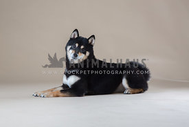 female shiba inu in studio with neutral background