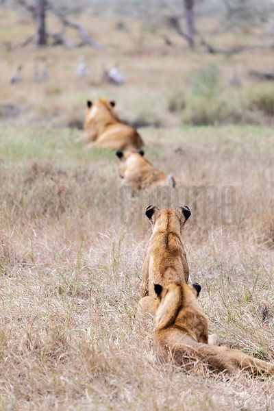 Lions Watching their Kill