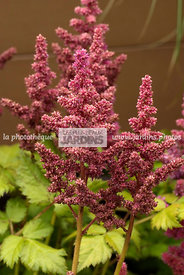 Astilbe chinensis (astilbe de Chine), Vivace. Paysagiste : Tim Fowler, TPFS, Angleterre