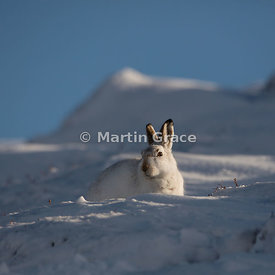 Mountain Hare (Arctic Hare) (Lepus timidus) in bright, late afternoon winter sunlight, February 13, Strathdearn, Scottish Hig...