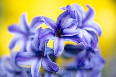 purplehyacinthwithyellow