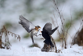 Fieldfare Turdus pilaris fighting with male Blackbird  Turdus merula over apples in snow Norfolk January
