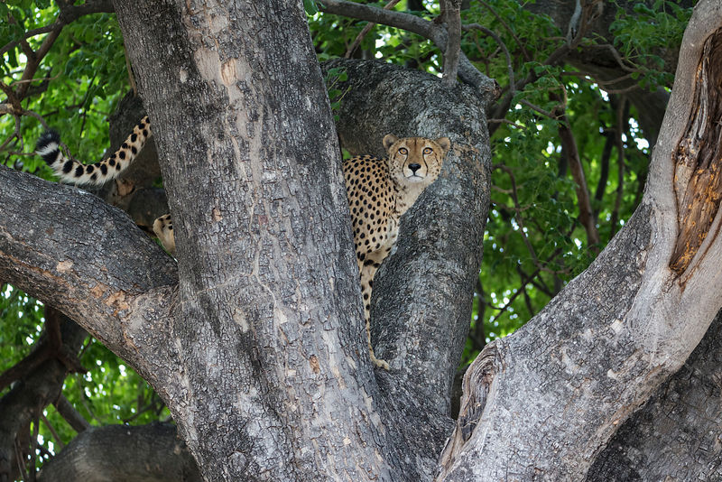Male Cheetah in a Tree