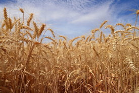 Blue sky, golden grain