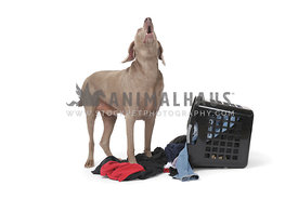 Gray weimaraner howling at laundry on white background
