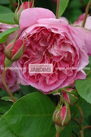 Rosa 'Portmeirion' (Rose). Obtenteur : David Austin. Hampton Court. Angleterre.