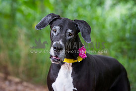 Old Great Dane lady with pretty collar.