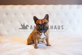 french bulldog tan in colour very strong and handsome sitting on bed looking at camera