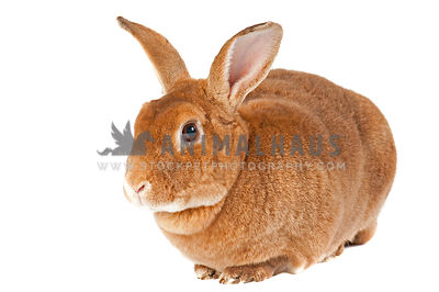Cute red bunny with big ears looking at camera isolated on white