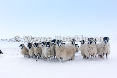 Swaledale sheep making their way through snow to get fed by shepherd, Cumbria, UK