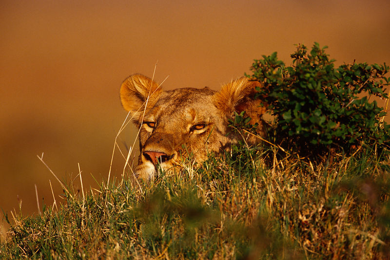 Lioness Peering over a Grassy Mound