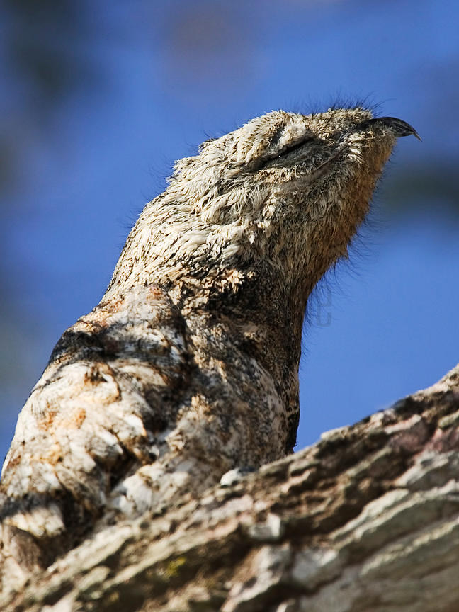 Great Potoo at daytime roost camouflaged, Transpantaneira Highway, Pantanal, Mato Grosso, Brazil