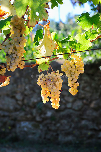 Grapes to produce green wine (Vinho Verde), a kind of lightly sparkling wine which are drunk whilst still very young. Cinfães...