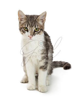 Cute Grey and White Tabby Kitten Sitting Over White