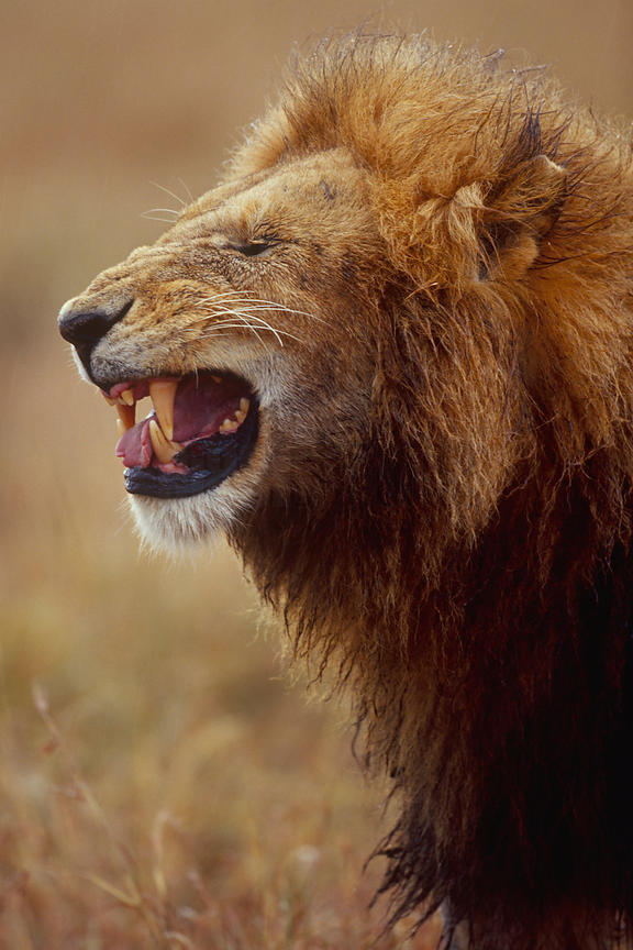 Portrait of a Male Lion Showing Flehmen Response