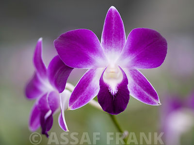 Malaysia, Borneo, Close-up of orchid flower