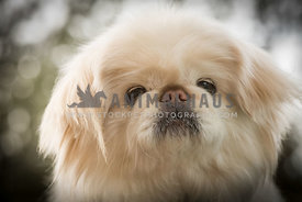 closeup of champagne colored Pekingese dog