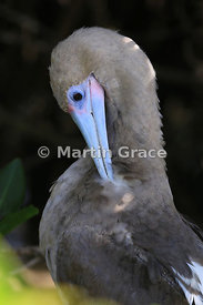 Red-Footed Booby (Sula sula) brown morph preening, schowing very clearly its serrated bill, Darwin Beach, Genovesa, Galapagos...