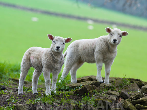 Two lamb standing on field