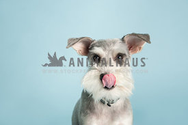 salt and pepper miniature schnauzer licking her lips on a blue background