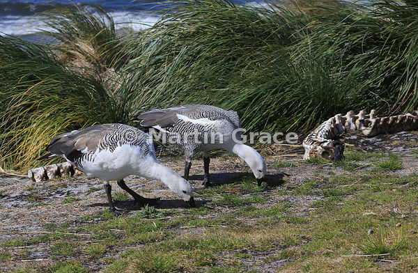 Two male Upland Geese (Chloephaga picta leucoptera) grazing by the vertebrae of a Sea Lion, with Tussac plants (Poa flabellat...