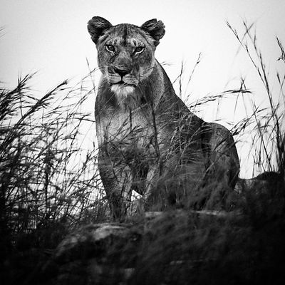 4152-Hidden_lioness_Tanzania_2002_Laurent_Baheux