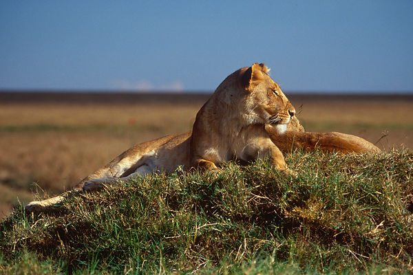 Lions Resting on a Grassy Mound