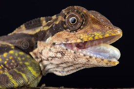 Great angle head lizard (Gonocephalus grandis)