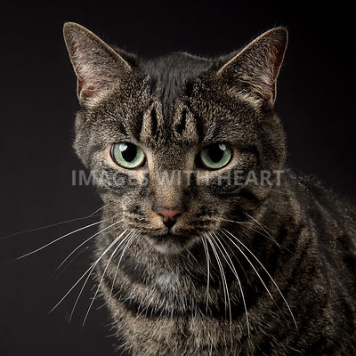 close-up of an adult tabby cat looking into the camera
