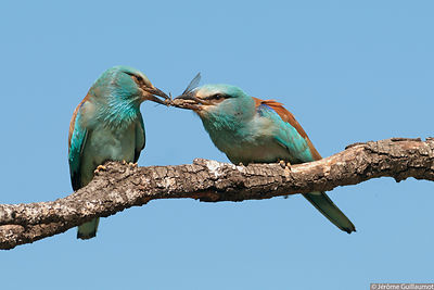 Courtship feeding by European Roller - Coracias garruls