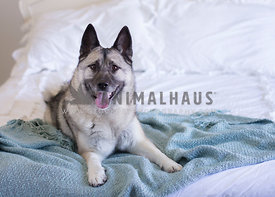 Sheppard mix laying on blue blanket on white bed