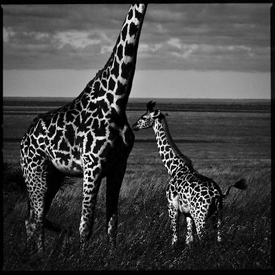 5285-Baby_giraffe_with_his_mother_Laurent_Baheux