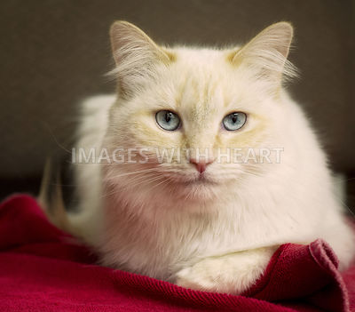 Buff colored cat with blue eyes looking at camera