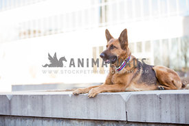 german shepherd sitting on urban concrete wall