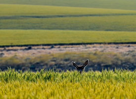 Deer peeking over wheat