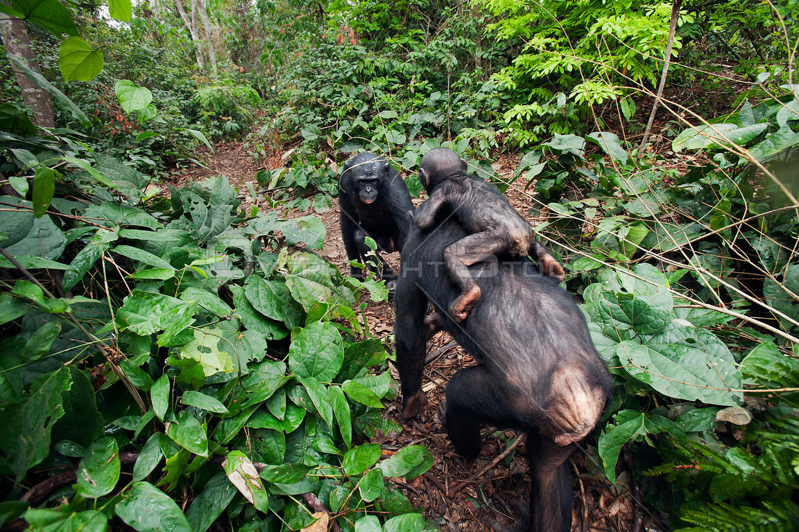 Bonobo (Pan paniscus) female 'Nioki' carrying her baby 'Bomango' aged 10 months, coming face to face with a young male 'Kikon...