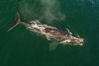 Aerial view of a North Atlantic right whale (Eubalaena glacialis), Bay of Fundy, Canada, September