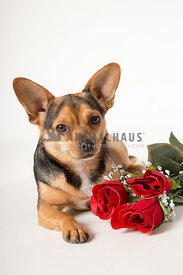 Chihuahua with big ears with red roses