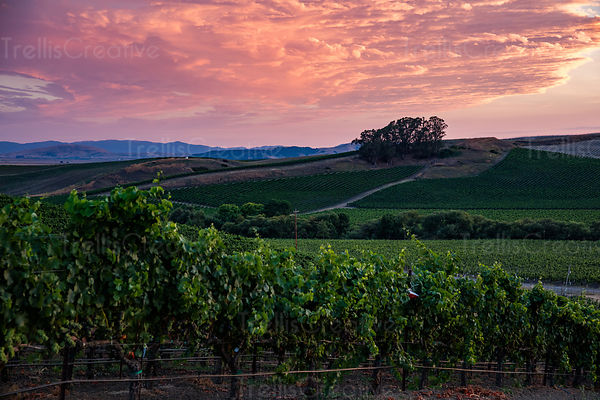 Colorful skies with clouds over a Carneros vineyard in Napa Valley