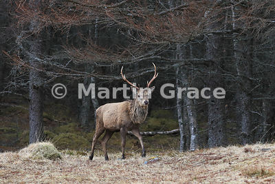 Red Deer stag (Cervus elaphus) by forestry, Badenoch & Strathspey, Scottish Highlands