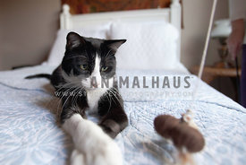 Tuxedo-Cat-Playing-Toy-On-Bed