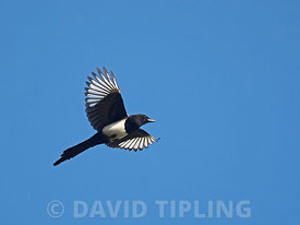 Eurasian Magpie Pica pica London autumn