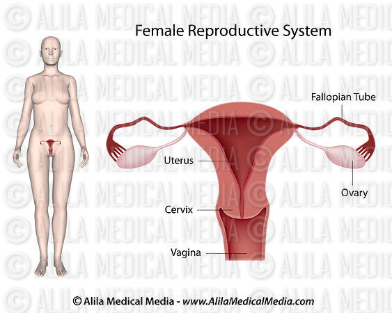 Female Reproductive System, labeled diagram.