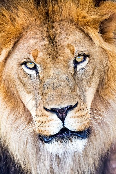 Closeup_African_Lion_Face