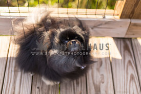 Black fluffy Pomeranian dog shakes his long hair on a wooden bridge during a walk