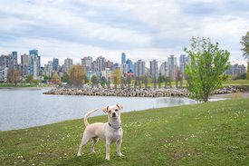 chihuahua mix standing on grass in front of downtown Vancouver skyline