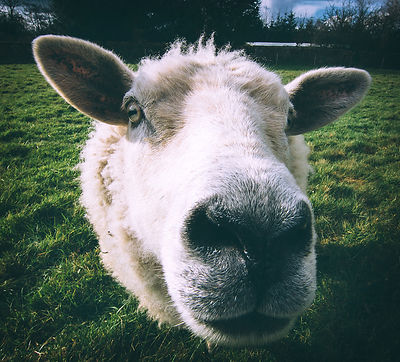 Keep_an_eye_on_ewe_sheep_28032016