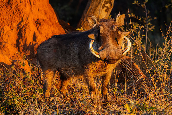 Male Warthog with Giant Tusks