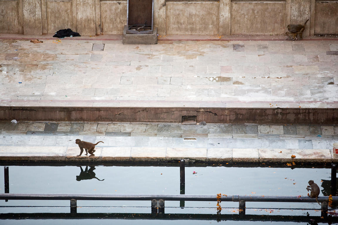 India - Jaipur - Monkeys feeding and bathing at the pool of the Surya Mandir (known as the Monkey Temple)